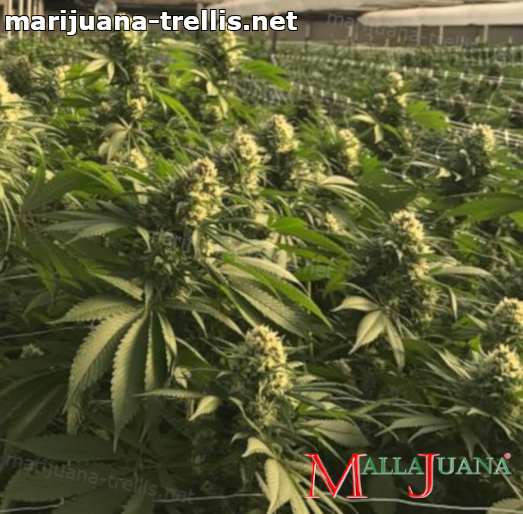 cannabis crops using mallajuana for support