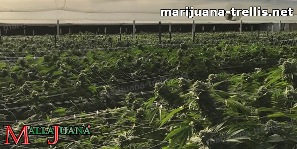 cannabis cropfield tutoring by mallajuana support net