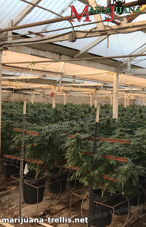 mallajuana providing support on cannabis cropfield