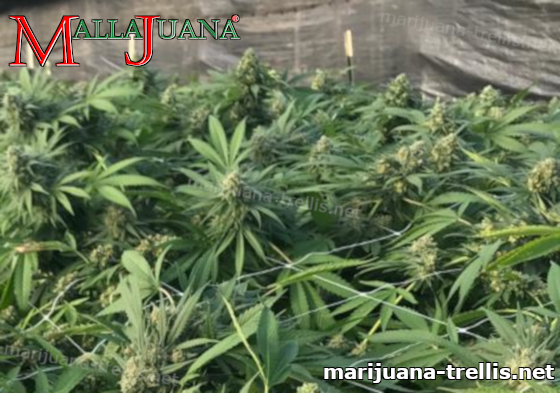 mallajuana net installed on cannabis crops