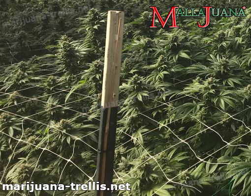 Mallajuana support net installed on cannabis crops