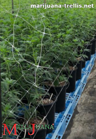 mallajuana used for provide support to cannabis crops