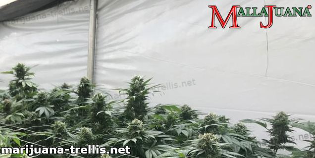 mallajuana providing support to cannabis plants