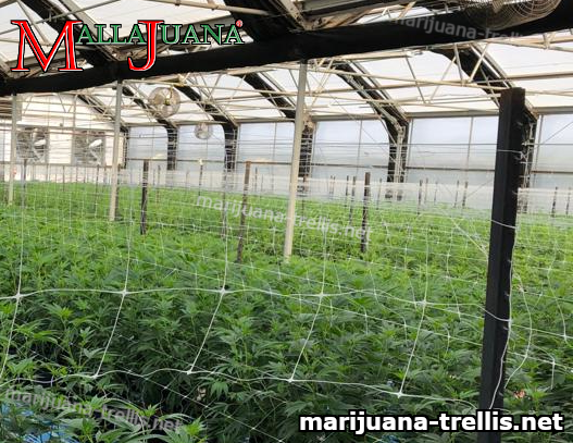 mallajuana support net installed on cannabis cropfield