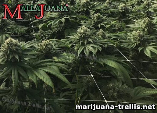 cannabis crops using mallajuana support net