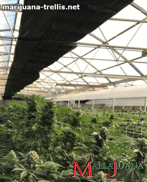 mallajuana providing support to cannabis cropfield