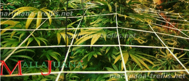 marijuana trellis tutoring to the cannabis crops