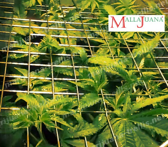 cannabis plant tutoring with the marijuana trellis.