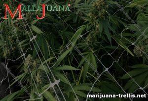 Espalier mesh and marijuana plant