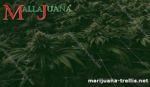 Marijuana plant and tutoring mesh